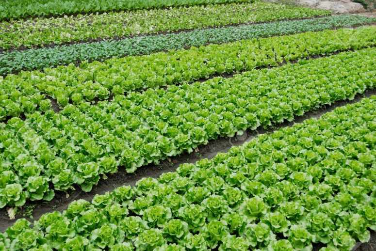 11113227-farmland-vegetable-field-is-growing-on-a-variety-of-vegetables-stock-photo