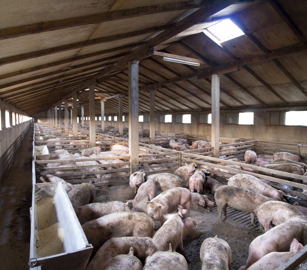 pigs-in-shed-1